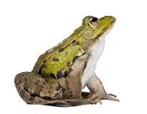 Vista lateral de una rana comestible que mira para arriba Foto de archivo