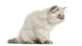 Vista lateral de una sentada de pelo largo británica del gatito, alarma, 5 meses Foto de archivo libre de regalías
