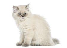 Vista lateral de una sentada de pelo largo británica del gatito, 5 meses Imágenes de archivo libres de regalías
