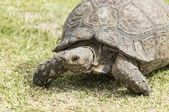 Vista lateral de una tortuga que camina fotografía de archivo libre de regalías