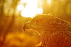 Vista lateral del águila de la montaña Imagenes de archivo