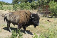 Vista lateral del búfalo o del bisonte americano en pasto de la granja Fotografía de archivo
