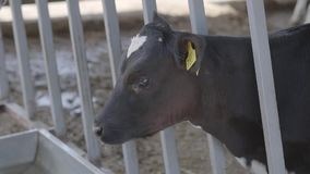 Vista lateral del becerro blanco y negro con los marcadores en los oídos en un primer de la granja Industria de la agricultura, c almacen de metraje de vídeo