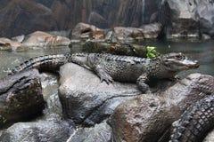 Vista lateral del cocodrilo de Yangtze imagenes de archivo