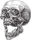Vista lateral del cráneo Imagen de archivo