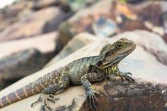 Vista lateral del dragón de agua en rocas en la playa en Lennox Head, Australia Fotos de archivo