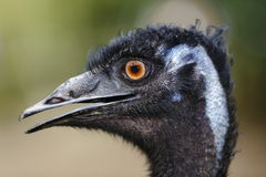 Vista lateral del Emu Fotografía de archivo
