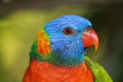 Vista lateral del lorikeet del arco iris Fotos de archivo libres de regalías