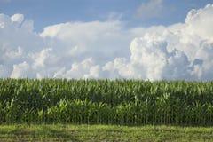 Vista lateral del maíz debajo de las nubes dramáticas en una tarde del verano Fotos de archivo libres de regalías