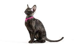 Vista lateral del negro, 2 meses del gatito de Cornualles de Rex Imagen de archivo