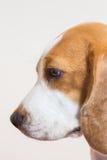 Vista lateral del pequeño del beagle del retrato estudio del perro Fotos de archivo libres de regalías