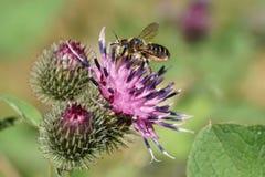 Vista lateral del primer de la abeja caucásica blanco-gris por los himenópteros yo Imagen de archivo libre de regalías