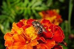 Vista lateral del primer de la abeja rayada salvaje caucásica en un naranja-rojo Fotografía de archivo libre de regalías