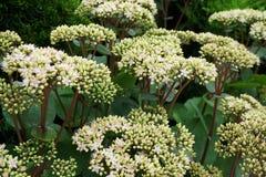 Vista lateral del primer de las inflorescencias de las flores blancas y rosadas s foto de archivo libre de regalías