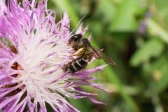 Vista lateral del primer de un pequeño nitidiuscula caucásico de Andrena de la abeja Foto de archivo libre de regalías