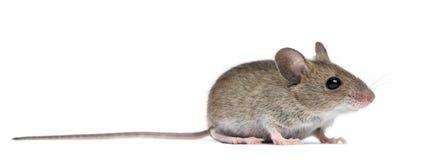 Vista lateral del ratón de madera Foto de archivo