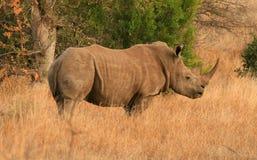 Vista lateral del rinoceronte blanco Imagen de archivo libre de regalías