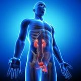 Vista lateral del sistema urinario humano Foto de archivo