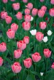 Vista lateral del sol que sube en los brotes abiertos rosados y el tulipán blanco Foto de archivo