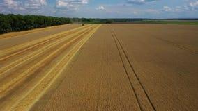 Vista lateral del tractor rojo y azul de la m?quina segador, produciendo la rabina amarilla de limpieza en campos de los granjero metrajes