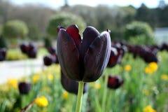 Vista lateral del tulipán negro Fotografía de archivo libre de regalías