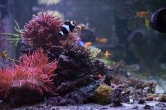 Vista lateral do aquário do tanque do recife com grupo de corais rochosos do sps Foto de Stock Royalty Free