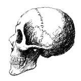 Vista lateral do crânio Fotos de Stock Royalty Free