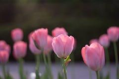 Vista lateral do sol que aumenta na tulipa cor-de-rosa aberta dos botões Imagens de Stock
