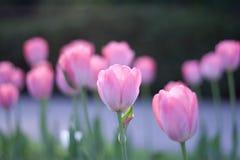 Vista lateral do sol que aumenta na tulipa cor-de-rosa aberta dos botões Fotos de Stock Royalty Free