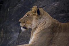 Vista lateral el mirar fijamente de la leona foto de archivo