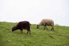 Vista lateral em um preto e uma grama de alimentação dos carneiros brancos no emsland Alemanha do rhede foto de stock royalty free