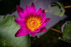 Vista lateral, flor pequena cor-de-rosa das flores de lótus do close up Fotografia de Stock Royalty Free