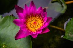 Vista lateral, flor pequena cor-de-rosa das flores de lótus do close up Imagens de Stock