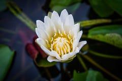A vista lateral, flores de lótus brancos do close up floresce na água Imagem de Stock Royalty Free