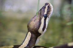 Vista lateral frontal de la serpiente principal imagen de archivo