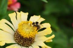 Vista lateral macra de un serri caucásico gris-negro del Bombus del abejorro Imagenes de archivo