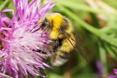 Vista lateral macra del serri caucásico amarillo-negro del Bombus del abejorro Fotos de archivo libres de regalías