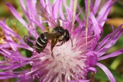 Vista lateral macra wi caucásicos de los pequeños de la abeja de un nitidiuscula de Andrena Imagenes de archivo