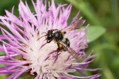 Vista lateral macra wi caucásicos de los pequeños de la abeja de un nitidiuscula de Andrena Fotos de archivo