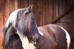 Vista lateral marrón oscura del caballo del Pinto sobre fondo estable de madera borroso fotos de archivo
