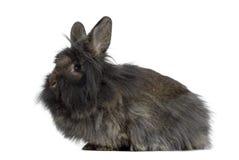 Vista lateral Mini Lop Rabbit Imagem de Stock Royalty Free