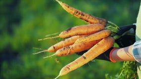 Vista lateral: o fazendeiro nas luvas guarda um grande grupo das cenouras Conceito do cultivo orgânico imagem de stock