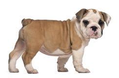 Vista lateral, perrito inglés del dogo, colocándose Fotografía de archivo libre de regalías