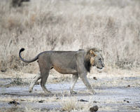 Vista lateral que camina del león Fotografía de archivo