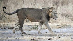Vista lateral que camina del león Imágenes de archivo libres de regalías
