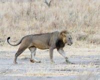 Vista lateral que camina del león Imagen de archivo