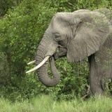 Vista lateral sobre la pista de un elefante Fotos de archivo