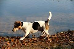 Vista lateral sobre un tri terrier de Russell del enchufe del color en el lago en meppen el emsland Alemania en multi coloreada fotos de archivo