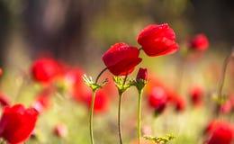 Vista laterale alta vicina degli anemoni rossi selvaggi in piena fioritura con le gocce di rugiada di mattina fotografia stock