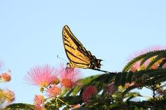 Vista laterale completa di alimentazione della farfalla di coda di rondine Immagini Stock